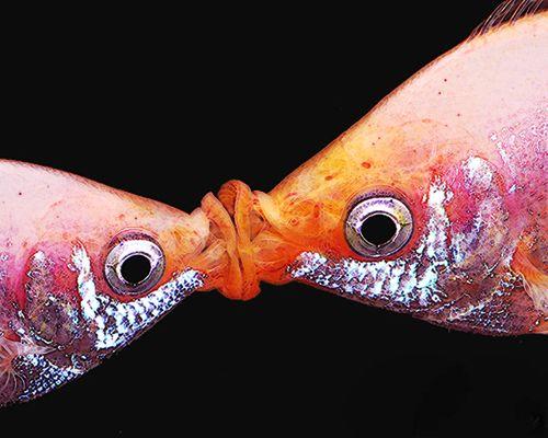 Fishkissing02
