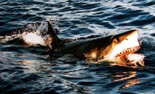 Surfacing_great_white_shark