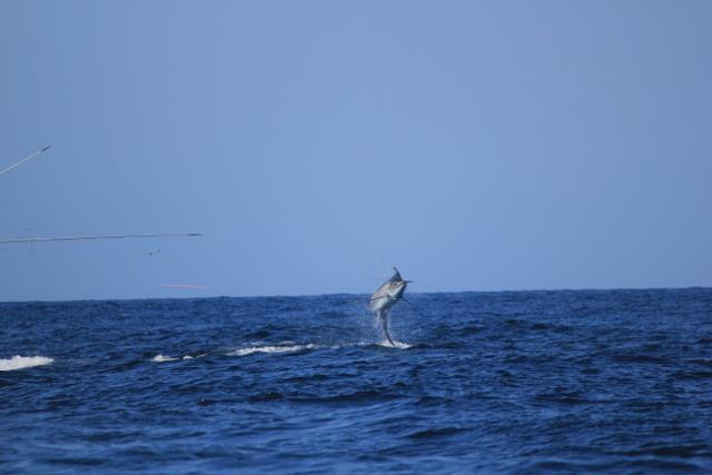 Marlin 02