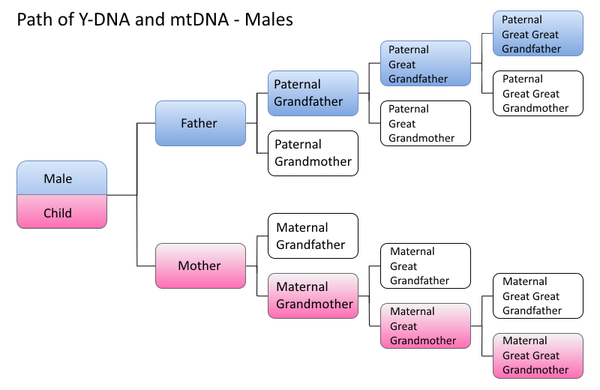 600px-Male_DNA_Paths